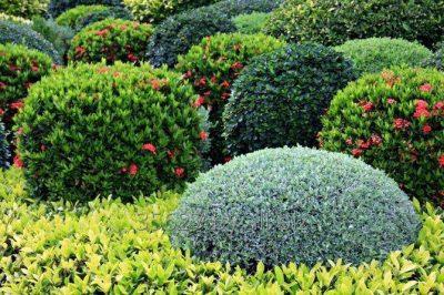 Лиственные кустарники