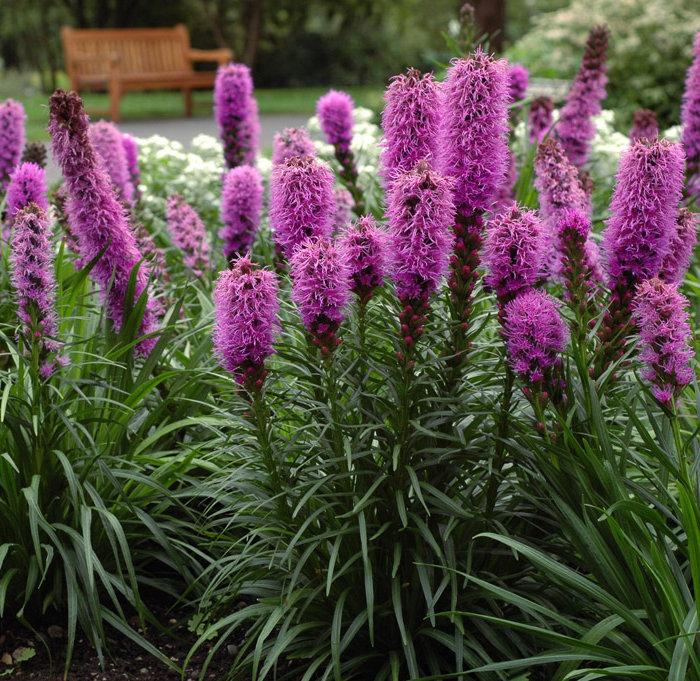 Цветок лиатрис колосковый