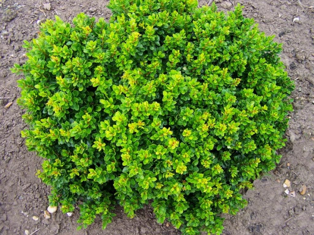 между зеленый барбарис фото какой должности