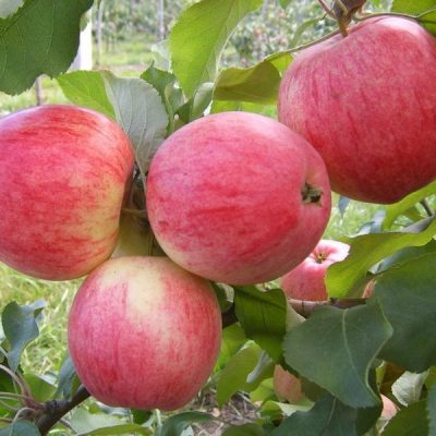 Яблоня плодовая конфетная